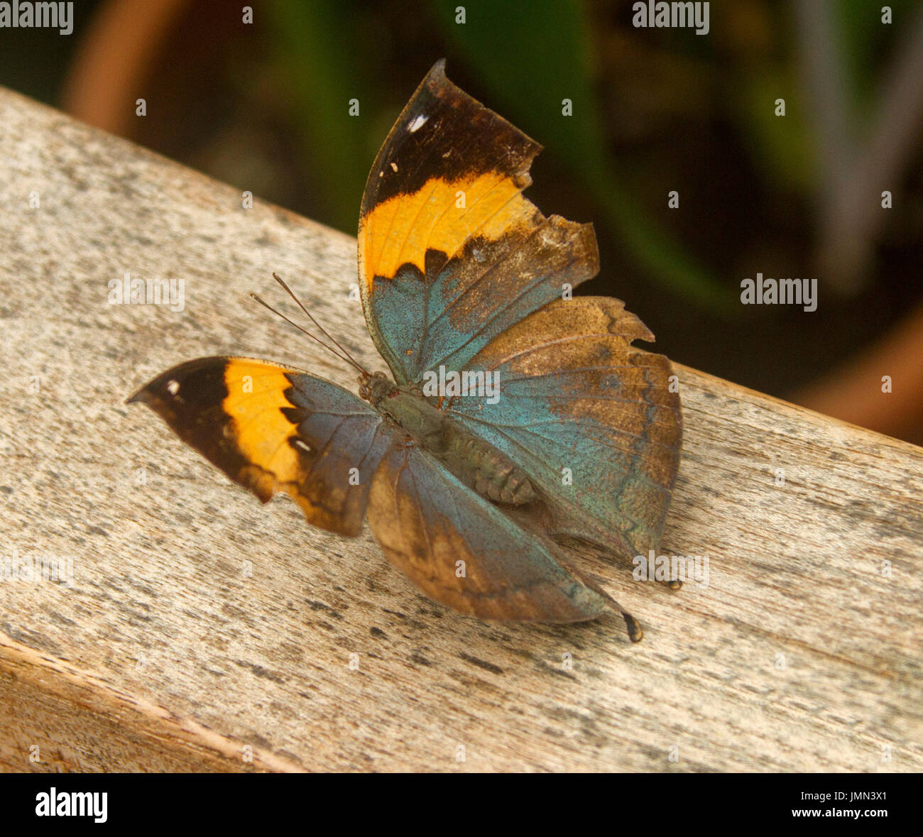 Fantastico blu e arancione: la malese / Indian leafwing butterfly, Kallima paralekta Immagini Stock
