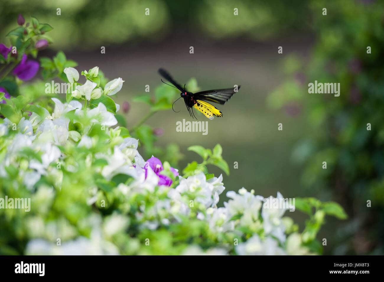 Farfalla in wildlife presi in Thailandia Immagini Stock