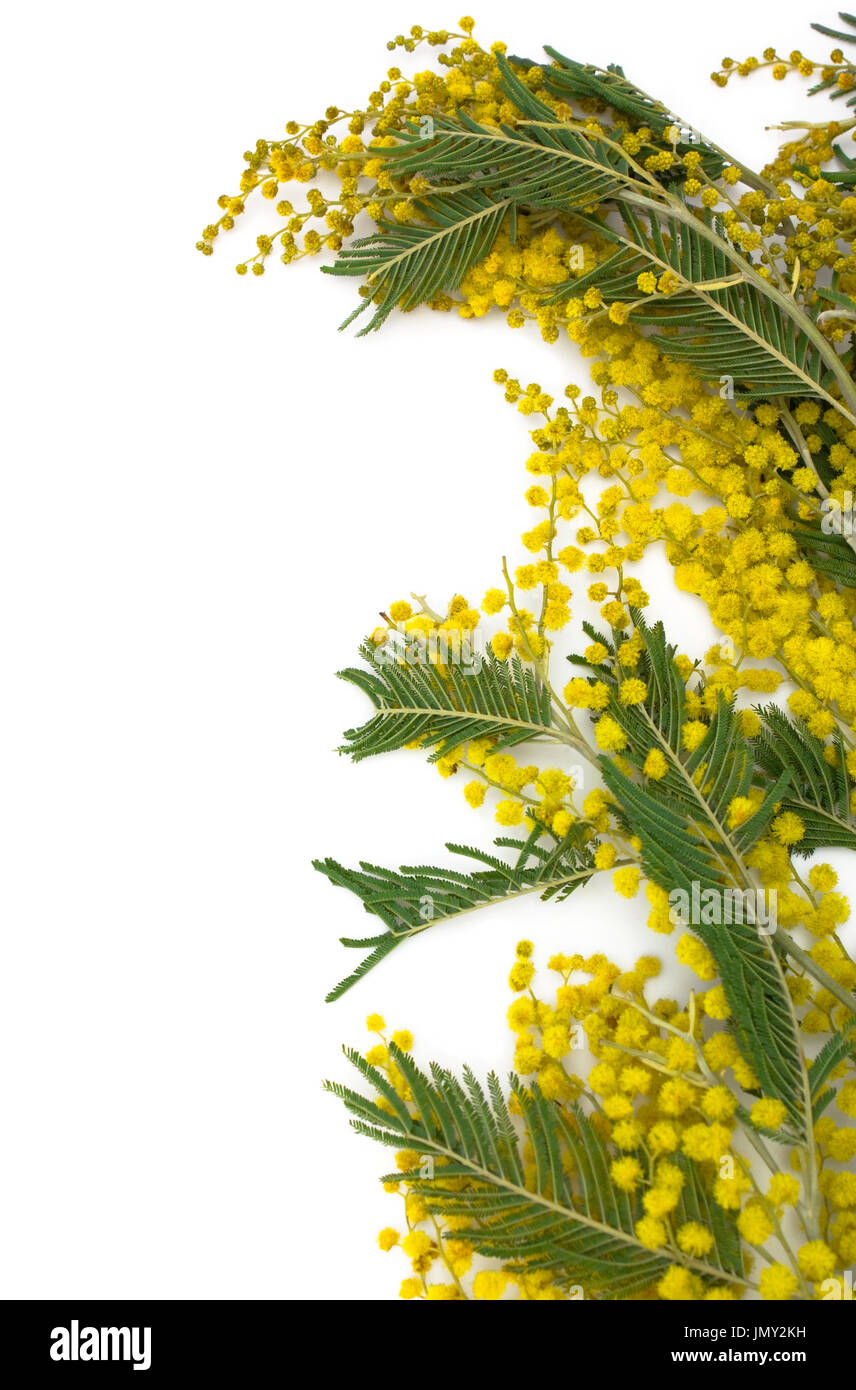Flower background  Ramo di mimosa isolati su sfondo bianco. Immagini Stock 31968110c629