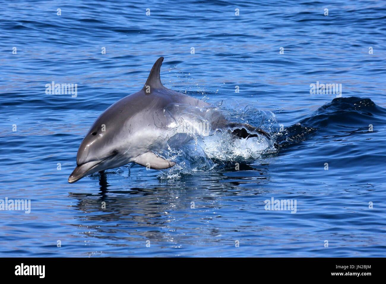 Un bambino macchiato atlantico (Delfino Stenella frontalis) jumping accanto alla barca Immagini Stock
