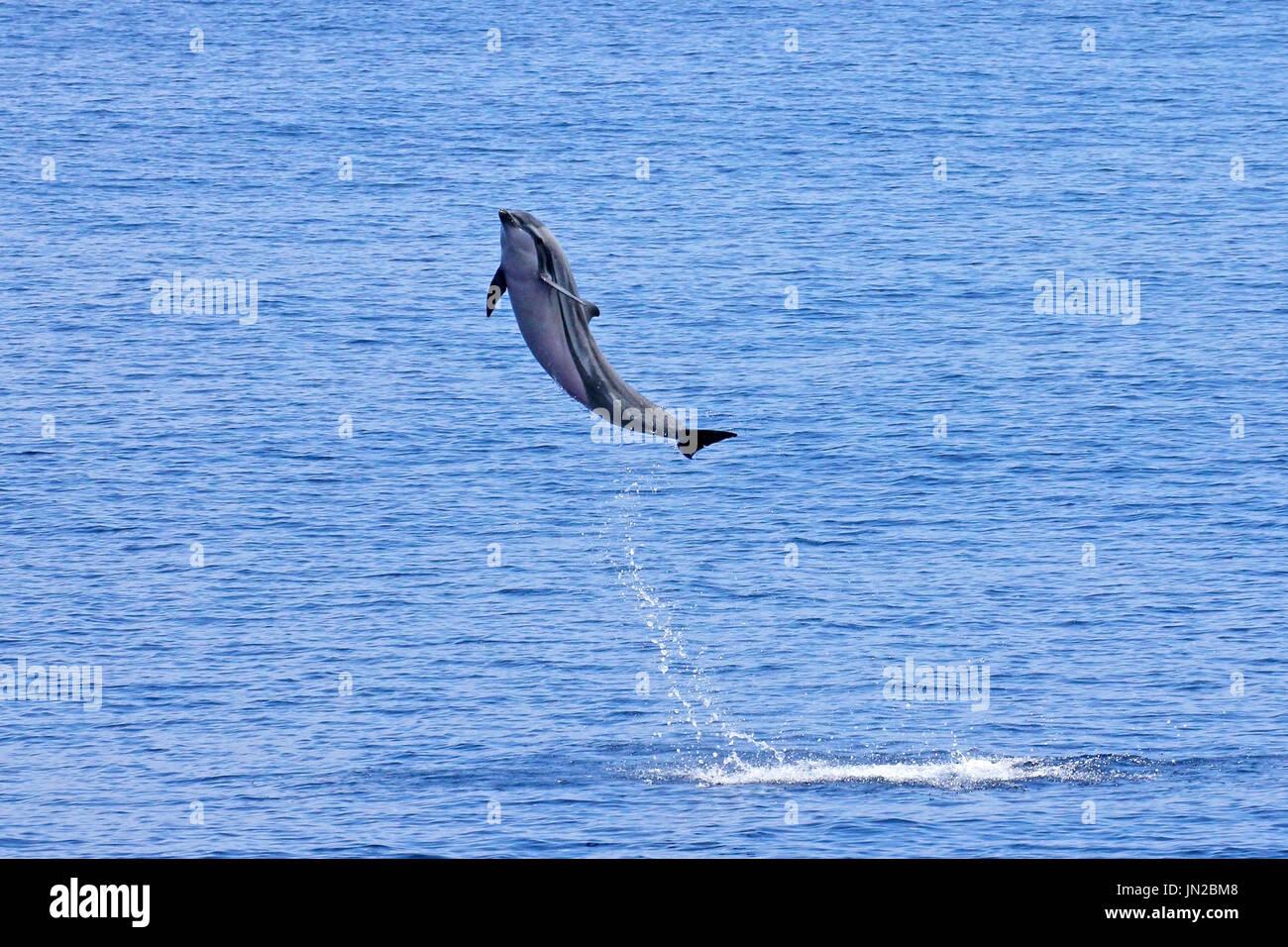 Striping (Delfino Stenella coeruleoalba) violazione dell'Oceano indiano Immagini Stock