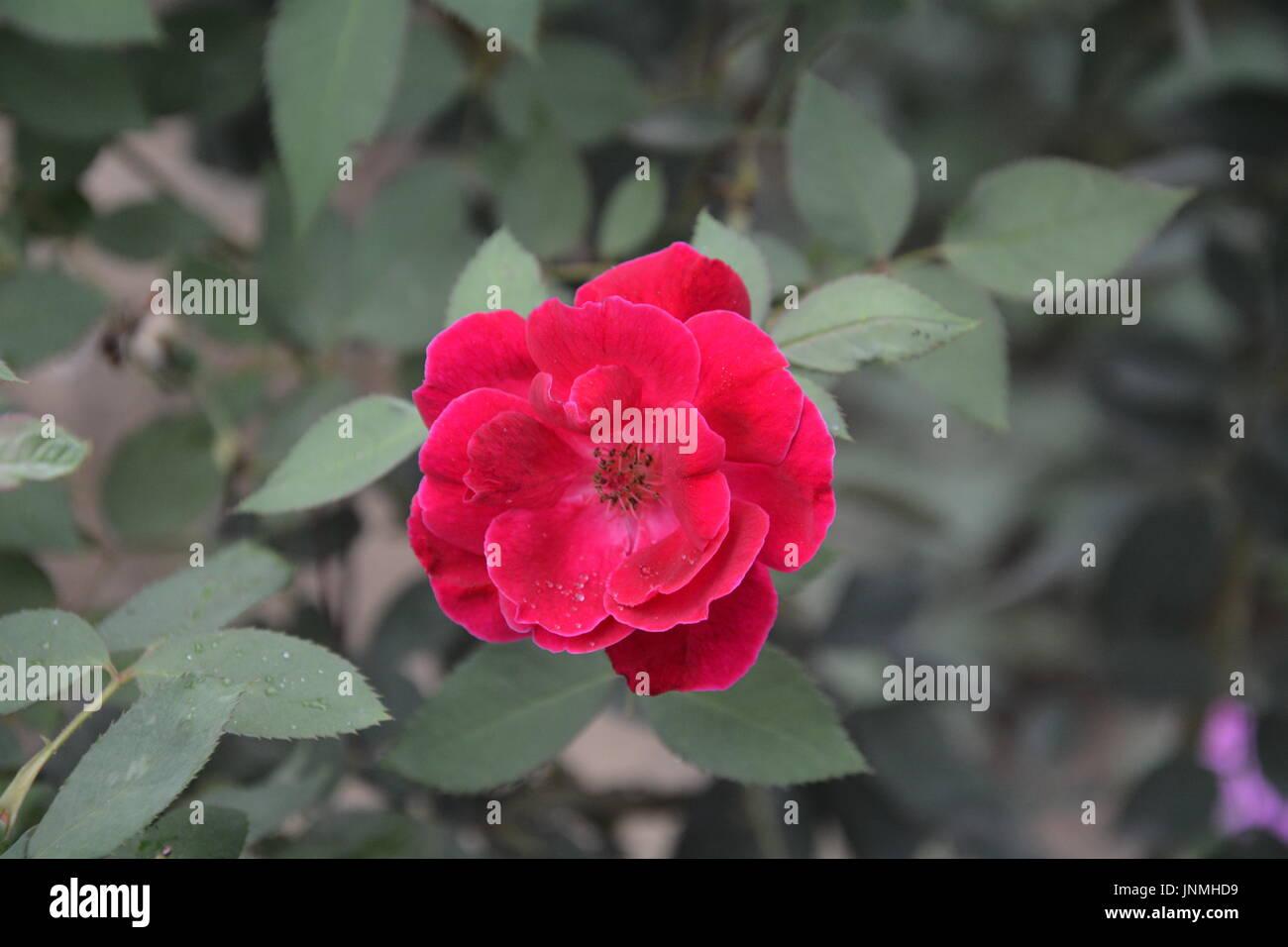 La foto è del mio giardino. Rose una regina di bellezza che hanno tutti gli amanti delle anime.La rosa che racconta la dentro la bellezza di ogni persona. Rosa rosa. Immagini Stock