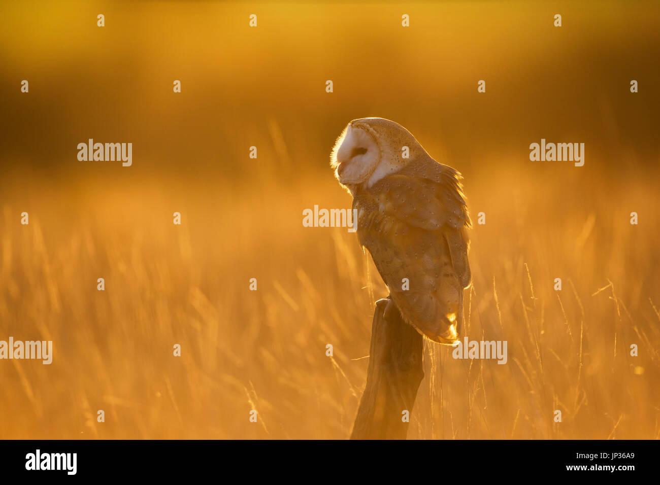Il barbagianni (Tyto alba) arroccato nella luce dorata al tramonto Immagini Stock