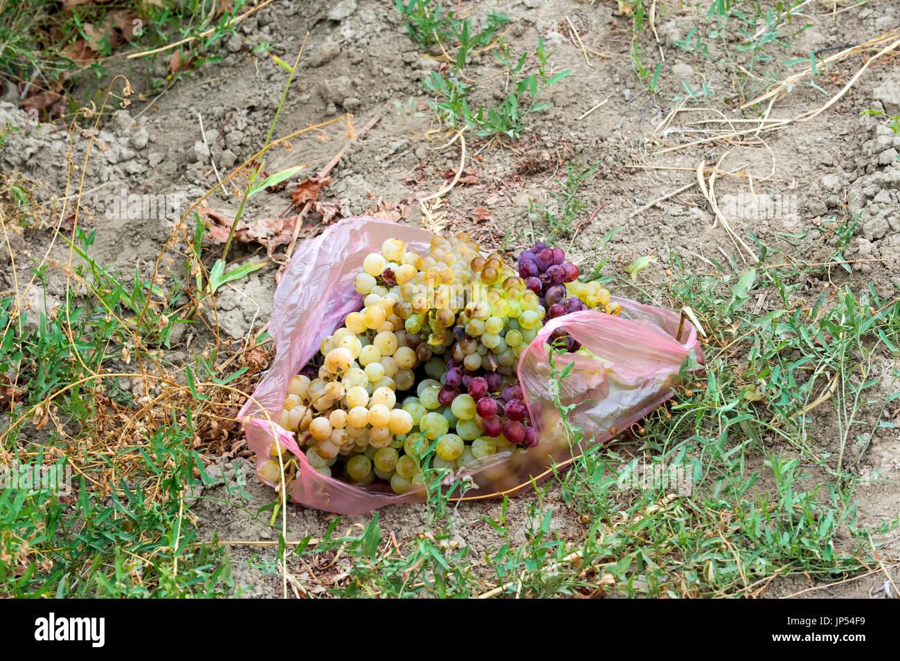Grappolo di uva avvolto in un sacco di plastica sul terreno, Ararat provincia, Armenia Immagini Stock