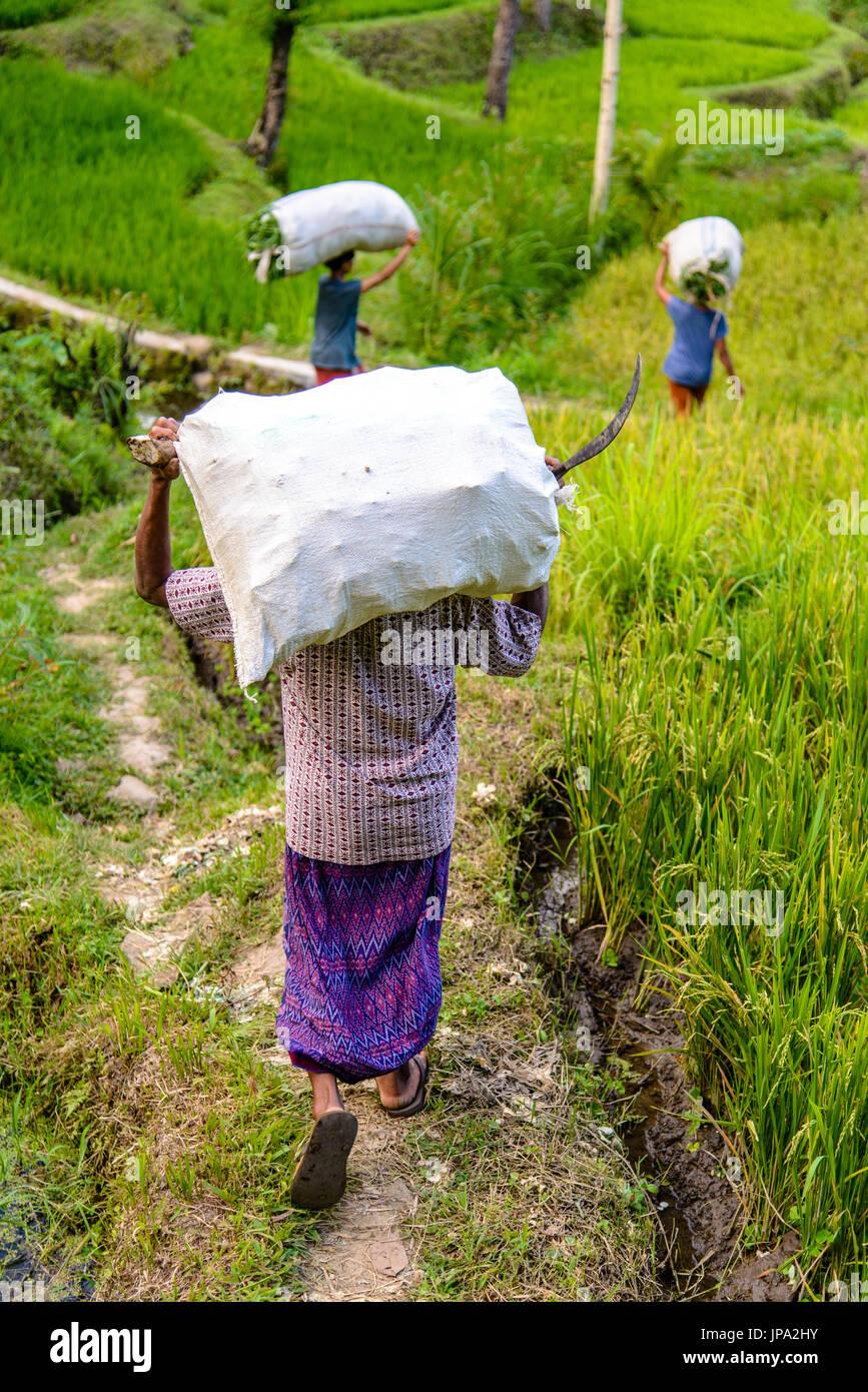 Gli agricoltori indonesiano al lavoro intorno Tetebatu, Lombok Immagini Stock
