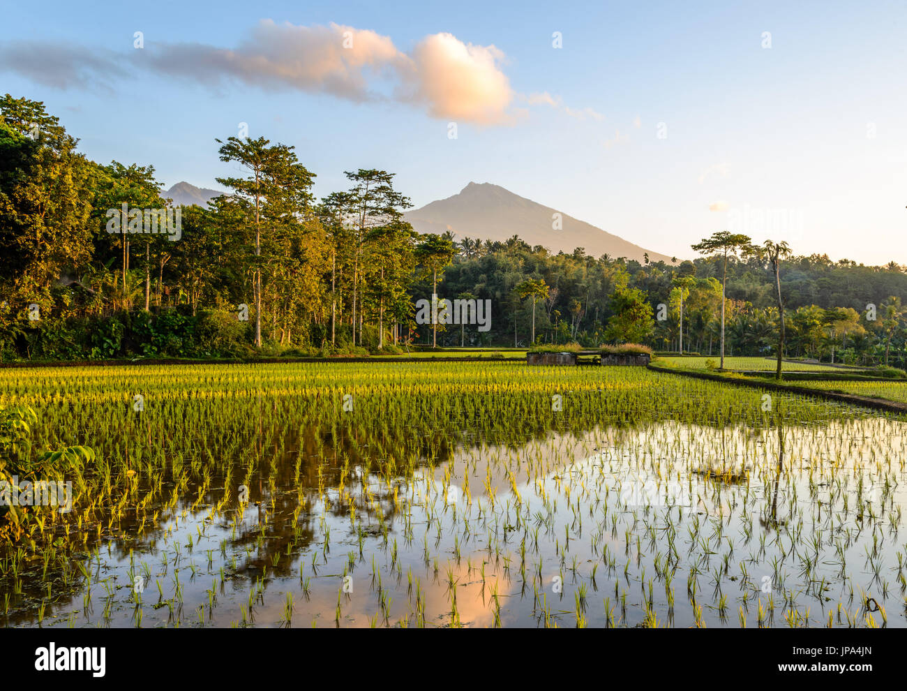 Terrazze di riso di sunrise, Lombok Immagini Stock