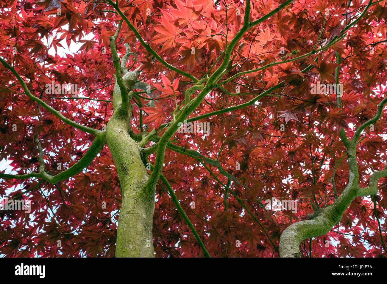 """Ricerca di rami di alberi a foglie rosse di acero giapponese (Acer palmatum Atropurpureum """"') visto da sotto con inizio estate fogliame retroilluminati. Regno Unito Gran Bretagna Immagini Stock"""