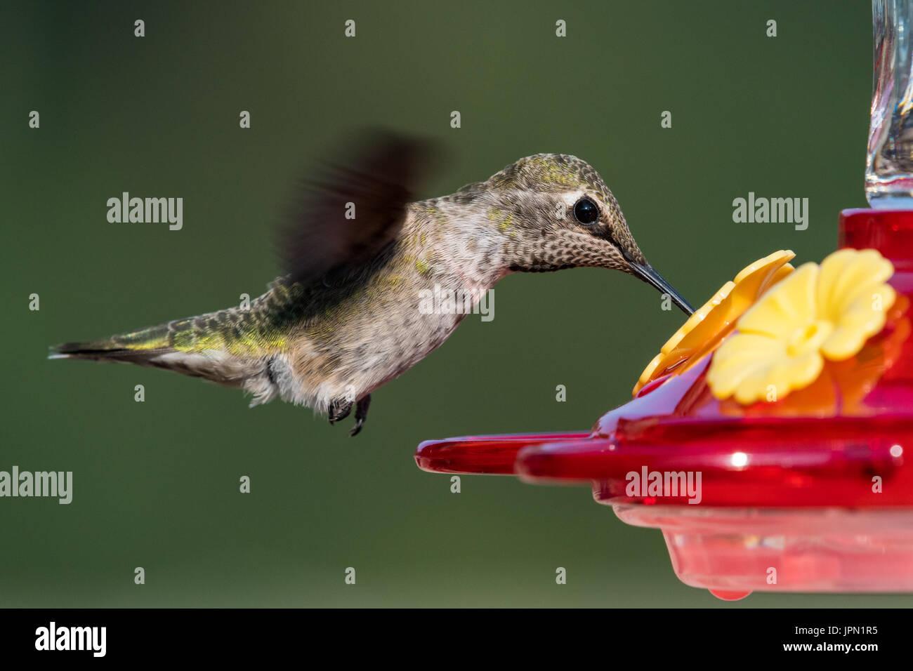 Femmina di Anna Hummingbird in volo. Immagini Stock