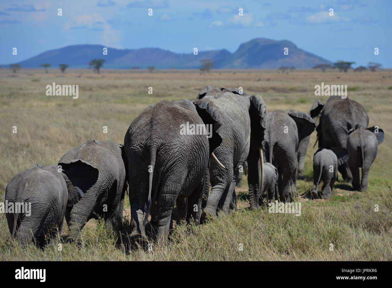 Gli elefanti maestosi passi la savana del Serengeti National Park in Tanzania, africa. Immagini Stock