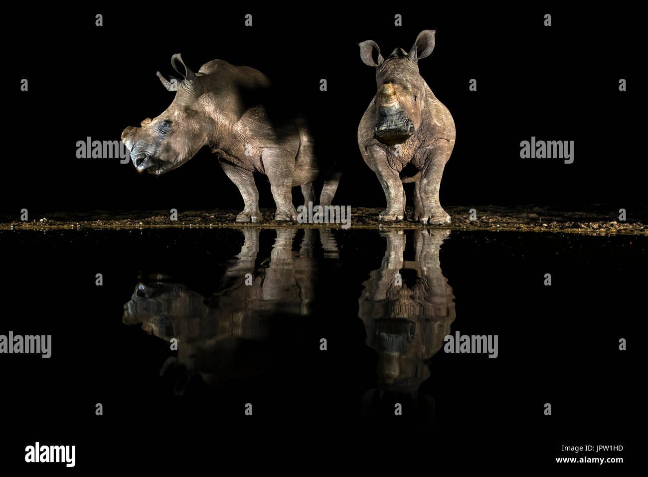 White Rhino (Ceratotherium simum) bere di notte, KwaZulu-Natal, Sud Africa, maggio 2017 Immagini Stock