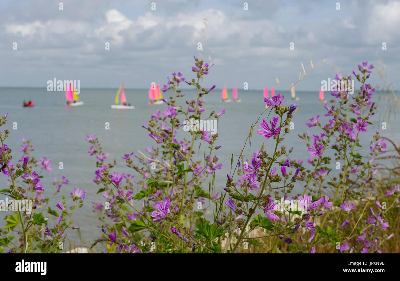 In primo piano dei fiori di malva e in lontananza la vela leggera di una scuola di vela. Immagini Stock