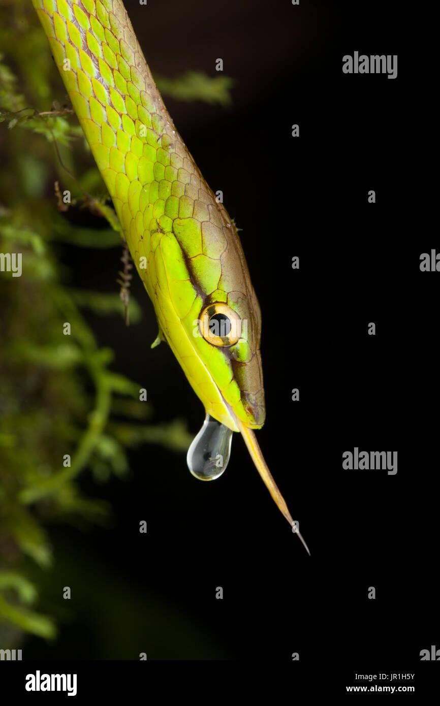 Ritratto di fronte Vine Snake (Oxybelis brevirostris) con linguetta e drop, torti, Panama Foto Stock