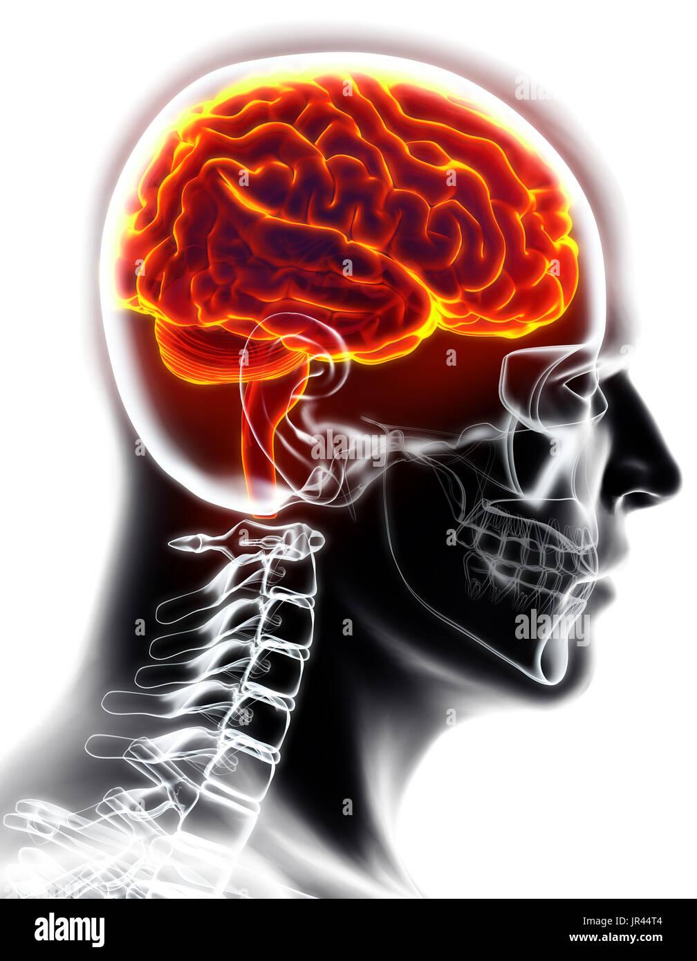 Umano organico interno - cervello umano, 3D illustrazione concetto medico. Immagini Stock