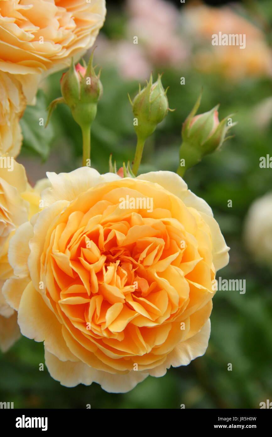 Rosa crown princess margareta 39 una scalata rosa inglese for Rosa inglese