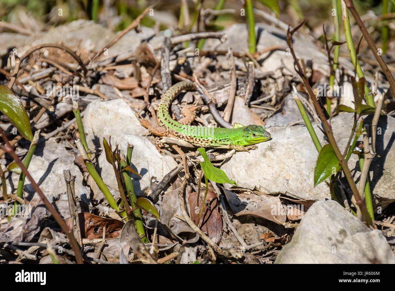 Europei maschili ramarro Lacerta viridis su una roccia Immagini Stock