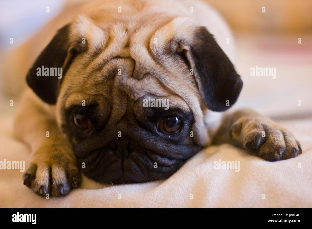 Sconvolto cucciolo pug Immagini Stock