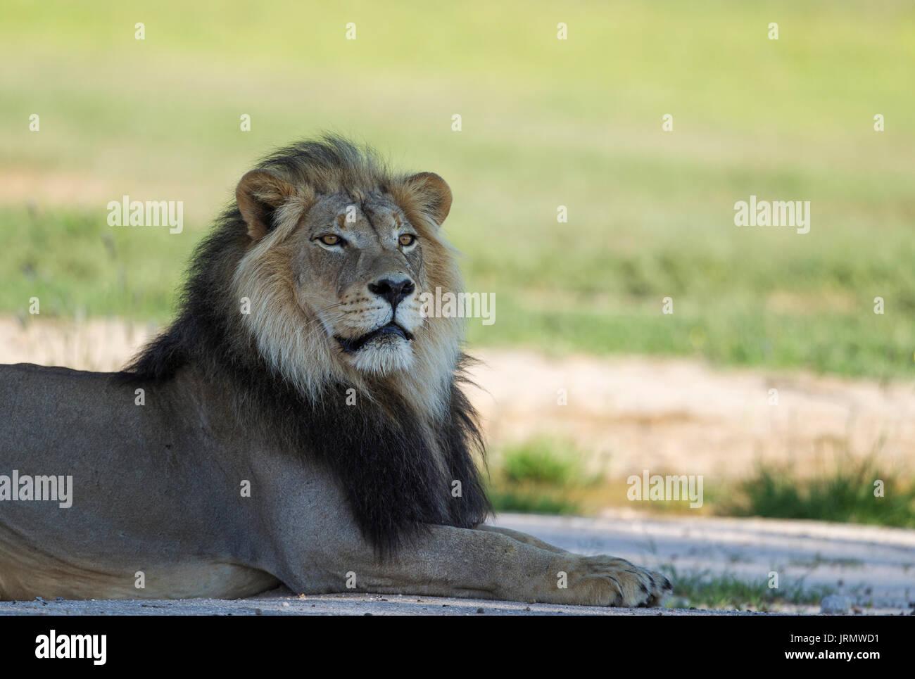 Lion (Panthera leo), nero-maned maschio, riposo, durante la stagione delle piogge con dintorni verdi, Deserto Kalahari Immagini Stock