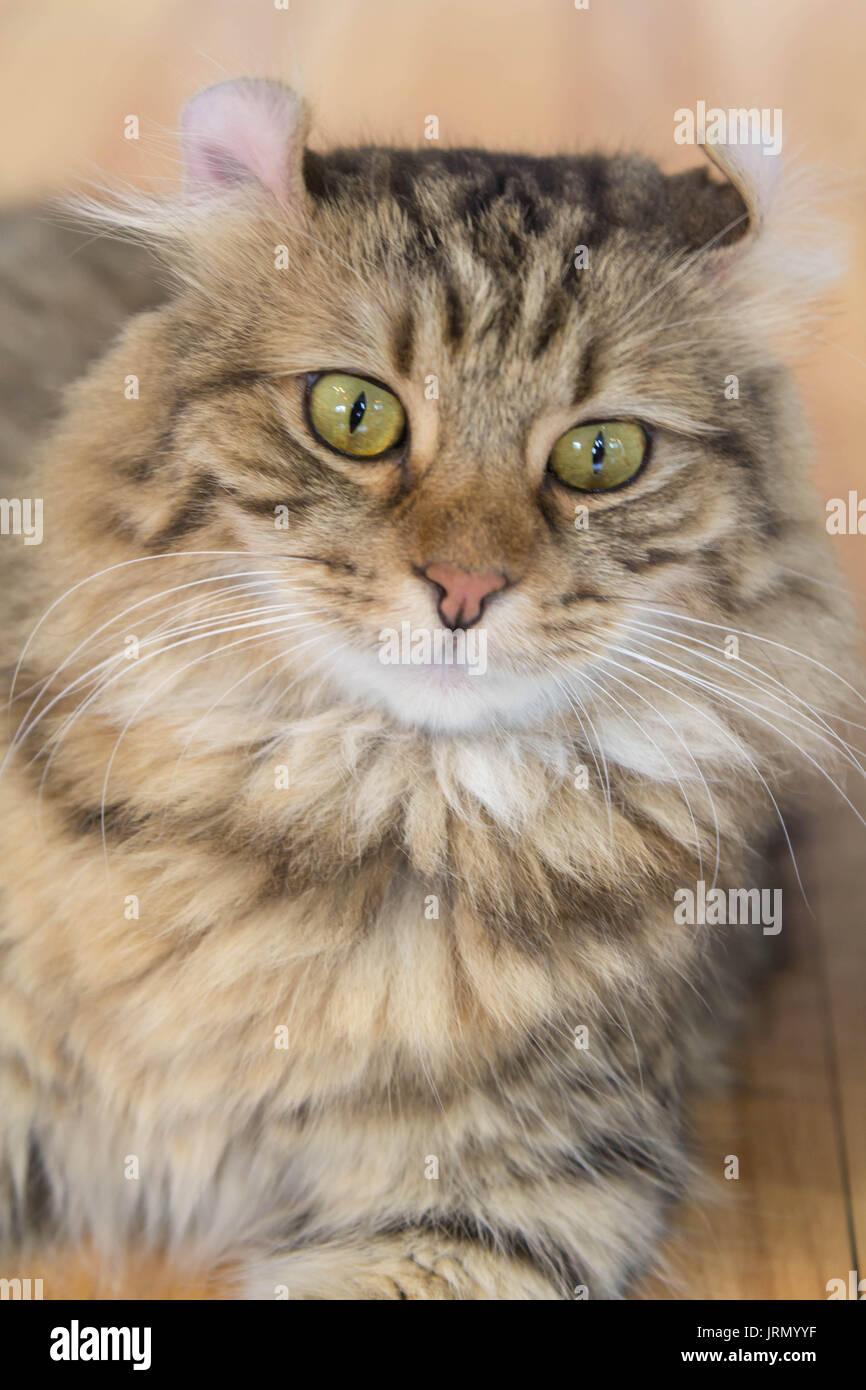 Gatto Americano Arricciato Immagini Gatto Americano Arricciato