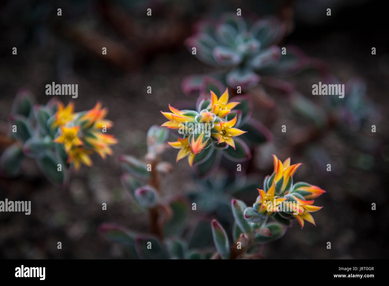 Ruby arrossire Echeveria pulvinata piante succulente in Kew Gardens 2017 Immagini Stock