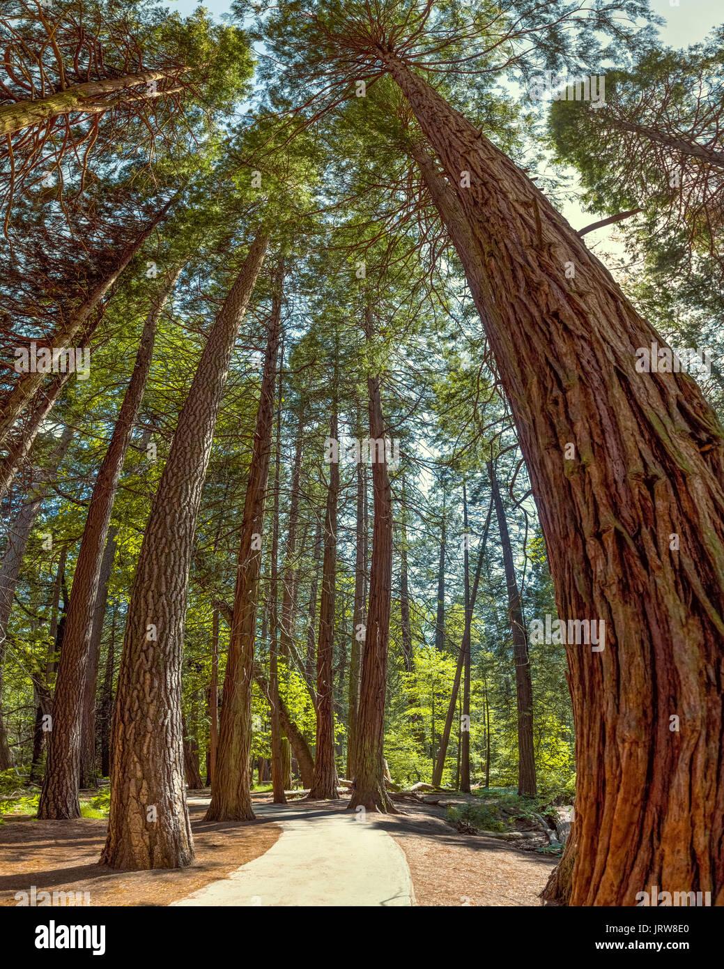 Parco Nazionale di Yosemite - Mariposa Grove Redwoods - California. Panorama verticale distorce gli alberi ed esagera il grandangolo effetto. Immagini Stock
