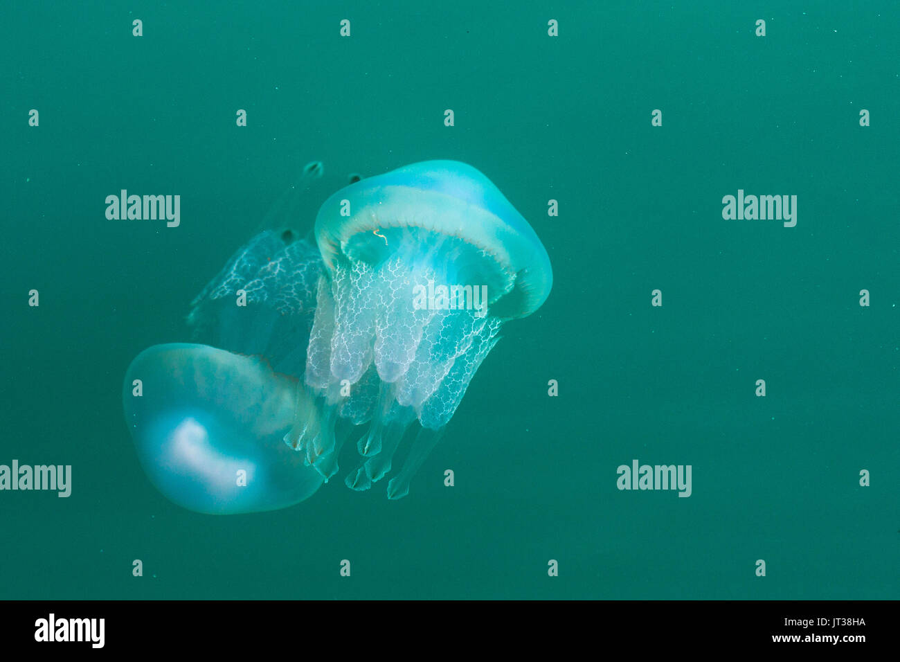 Canna medusa off porto Katakolon a parete. La Grecia Immagini Stock