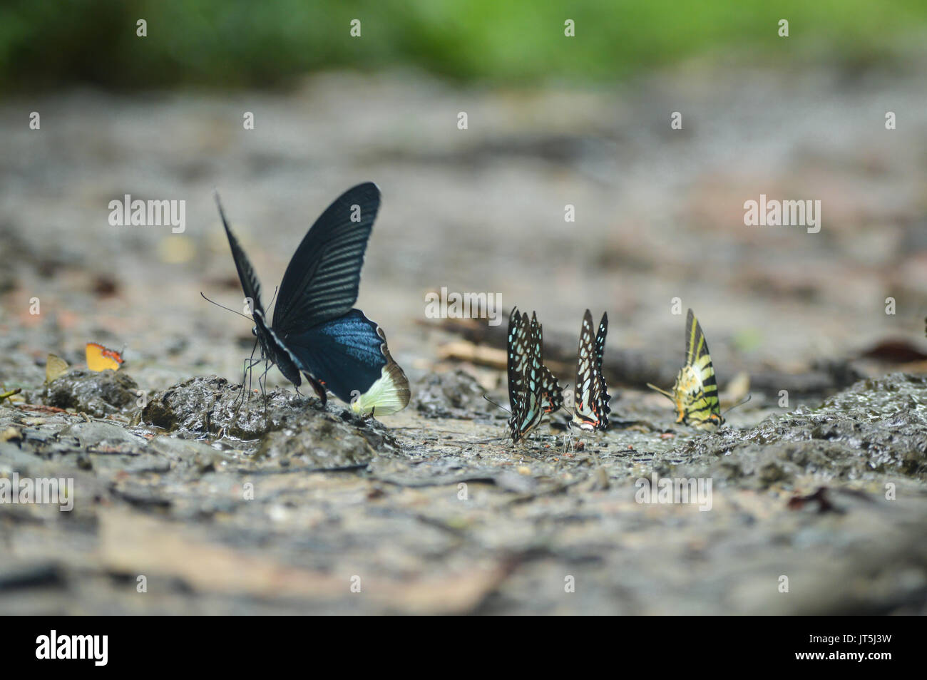 Rare farfalle trovati in Hollongapar gibbone Wildlife Sanctuary, Jorhat, Assam, India. Immagini Stock