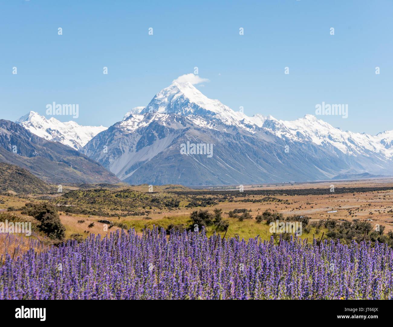 Fioritura fiori viola, Mount Cook, montagne innevate, parco nazionale di Mount Cook Alpi del sud, Canterbury, Isola del Sud Immagini Stock