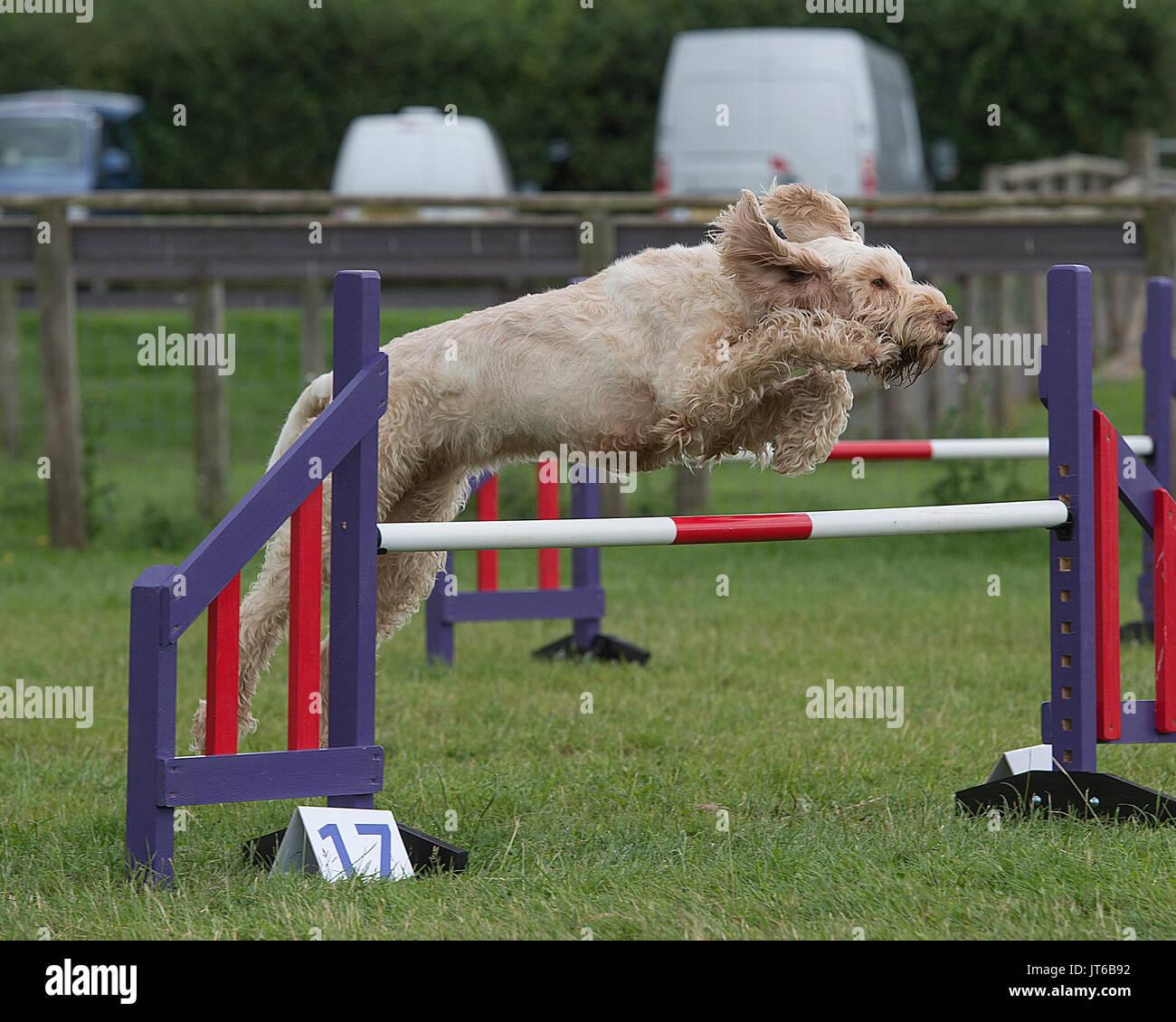 Spinone italiano cane in competizione in agilità Immagini Stock