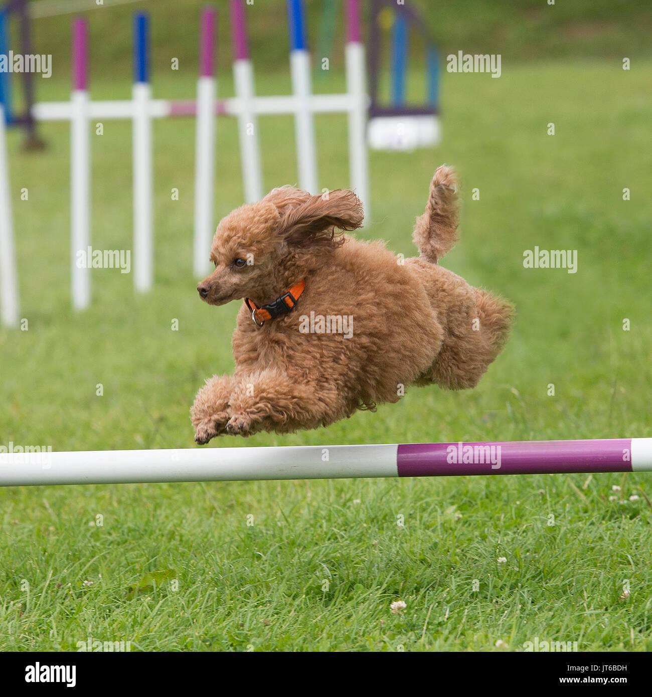 Cane barboncino competere in agilità Immagini Stock