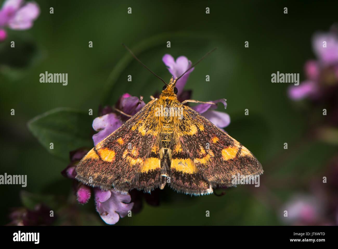 Mint tarma (Pyrausta aurata) su maggiorana. British moth nella famiglia Crambidae, nectaring con hindwing visibile Immagini Stock