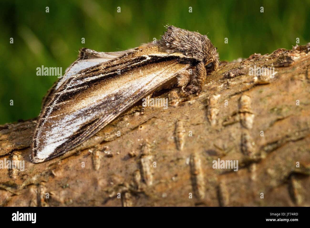 Regno Unito wildlife: deglutire prominente (pheosia tremula), imago sul ramo di albero, Doncaster, Regno Unito Immagini Stock