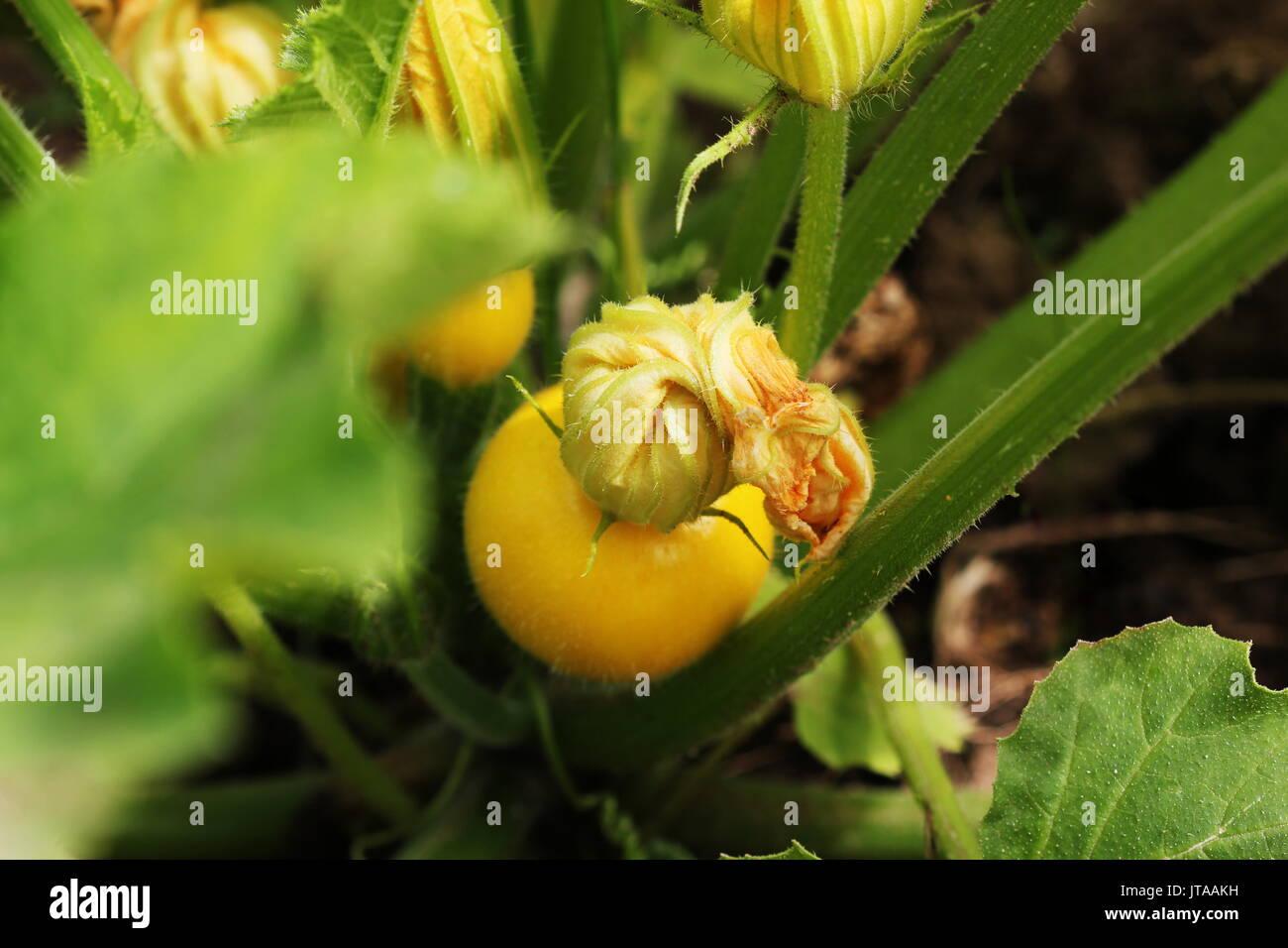 Fiori Gialli Rotondi.Giallo Rotondo Le Zucchine Con Il Verde Delle Foglie E Fiori Di