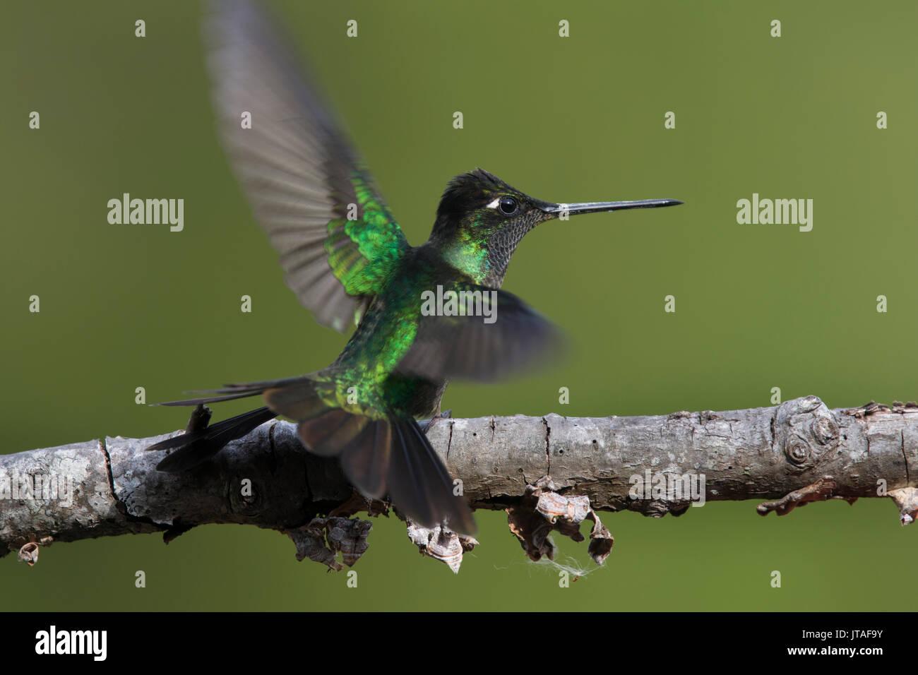 Verde-incoronato brillante (Hummingbird Heliodoxa jacula) prendendo il largo, Mount Totumas Cloud Forest, Chiriqui provincia, Panama. Immagini Stock