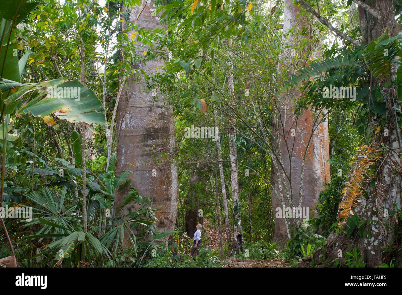 Kapok, Ceiba di seta o cotone (alberi Ceiba pentandra) con umana alla base per mostrare la scala, Darien, Panama. Immagini Stock
