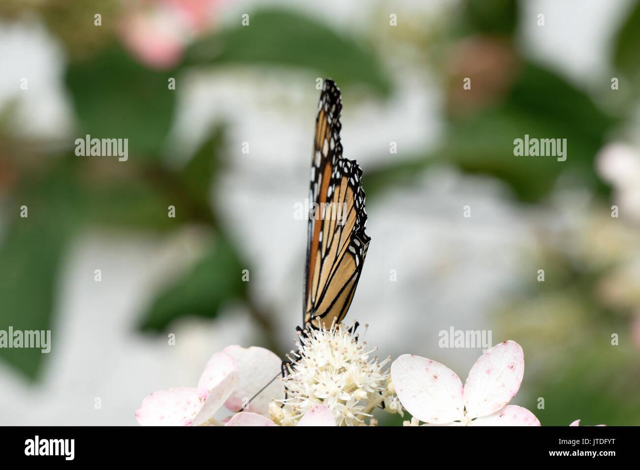 Splendida farfalla monarca appollaiato su Lacecap Hydrangea 419 Immagini Stock
