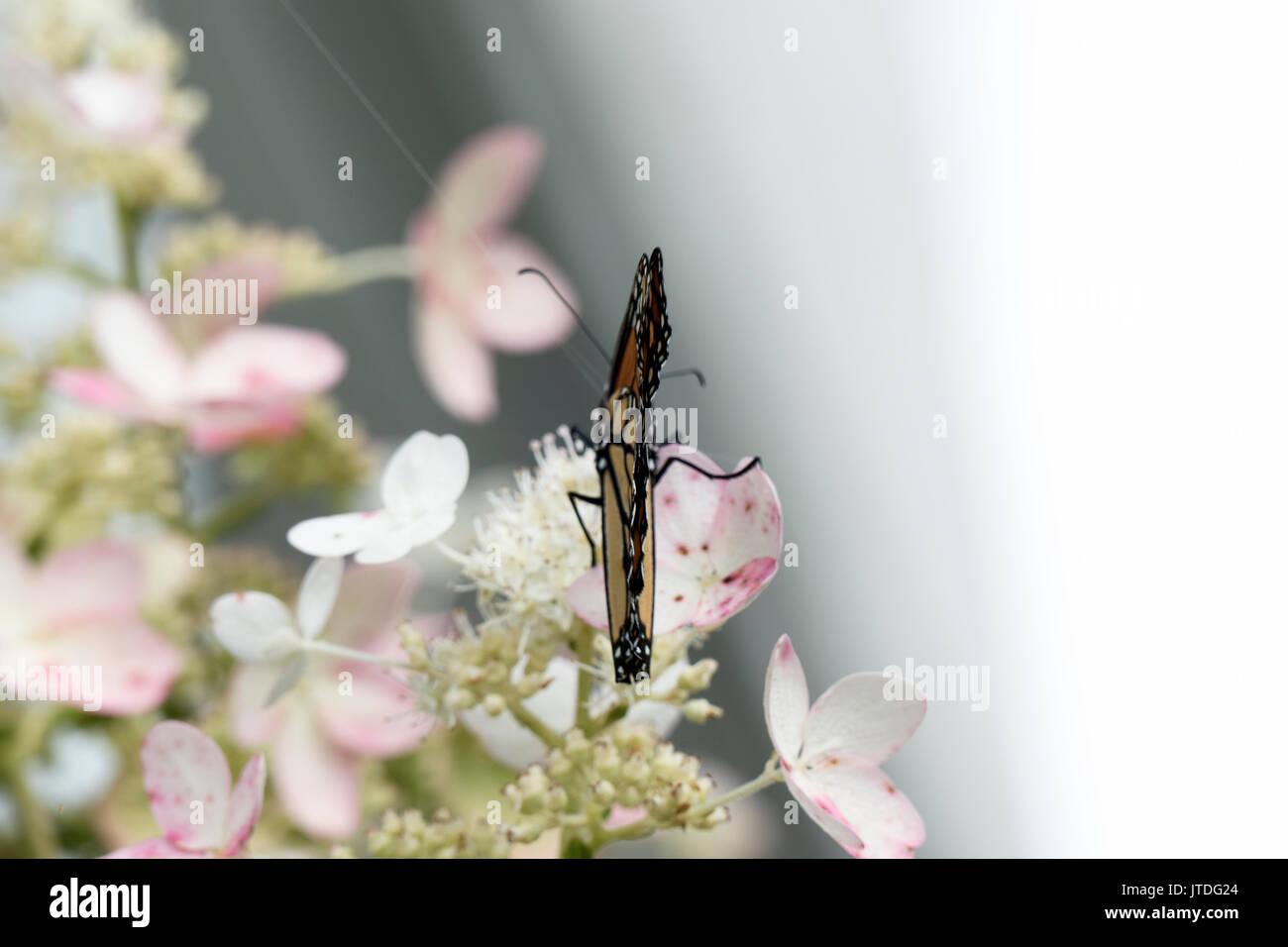 Splendida farfalla monarca appollaiato su Lacecap Hydrangea 429 Immagini Stock