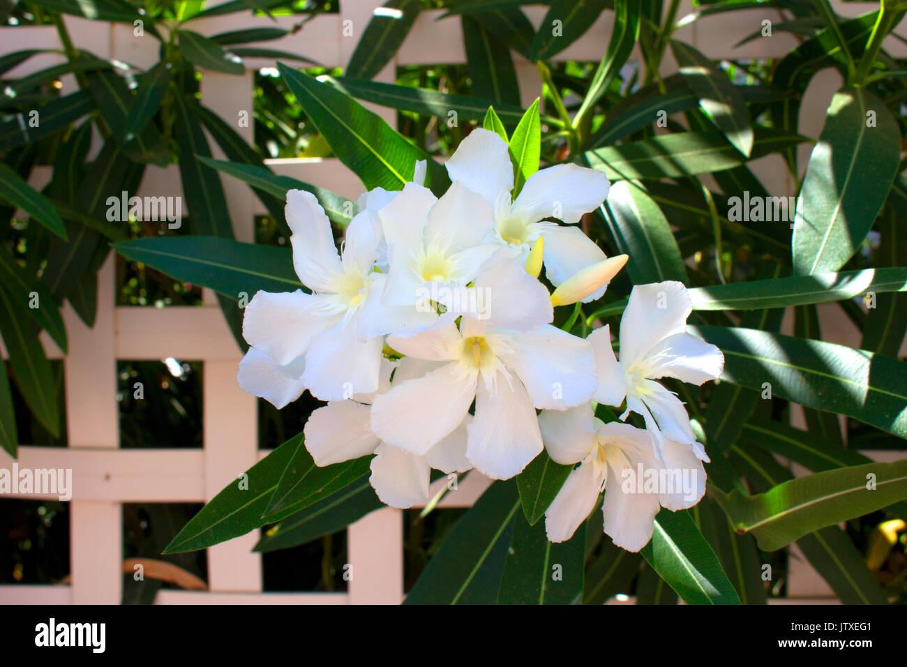 Pianta Con Fiori Bianchi.Fiori Bianchi Boccola Tropicale Con Fiori Di Colore Bianco