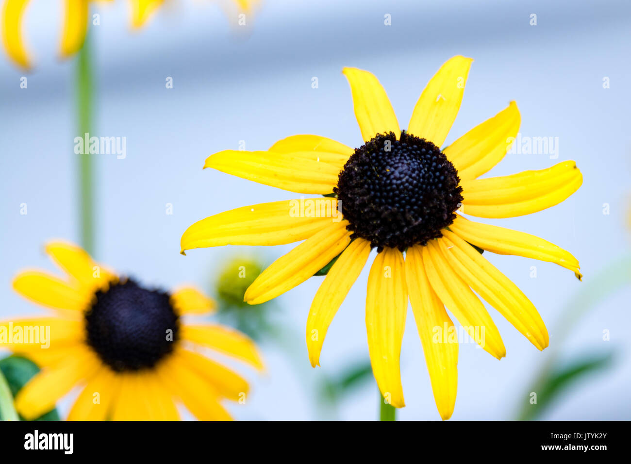Close up black eyed Susan fiore (Rudbeckia hirta) Foto Stock