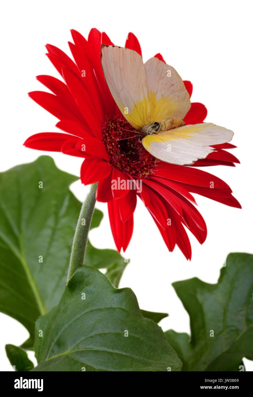 Limone Immigran Butterfly su rosso Gerbera Daisy Immagini Stock