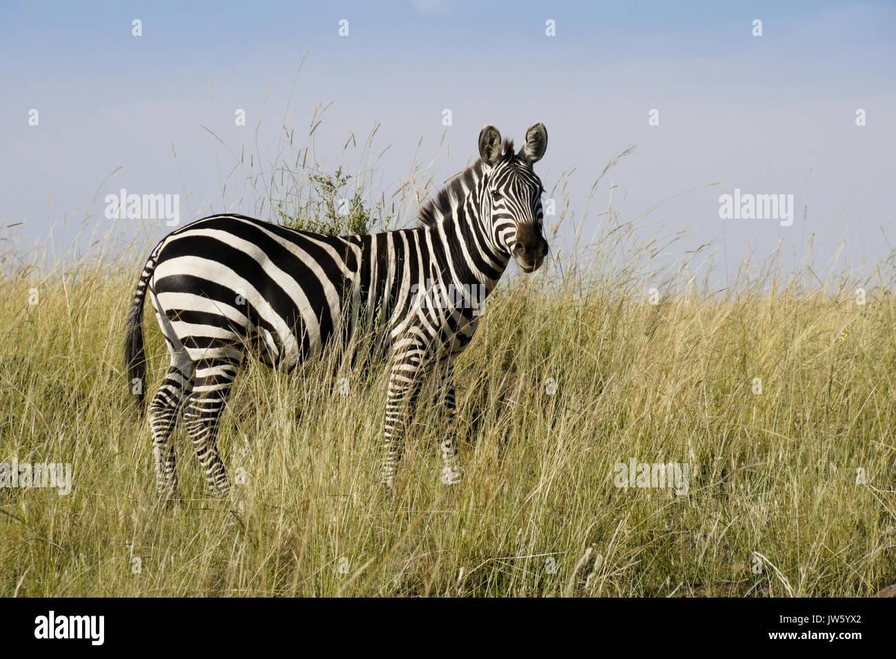 La burchell (comune o pianure) zebra in piedi in erba lunga, il Masai Mara Game Reserve, Kenya Immagini Stock