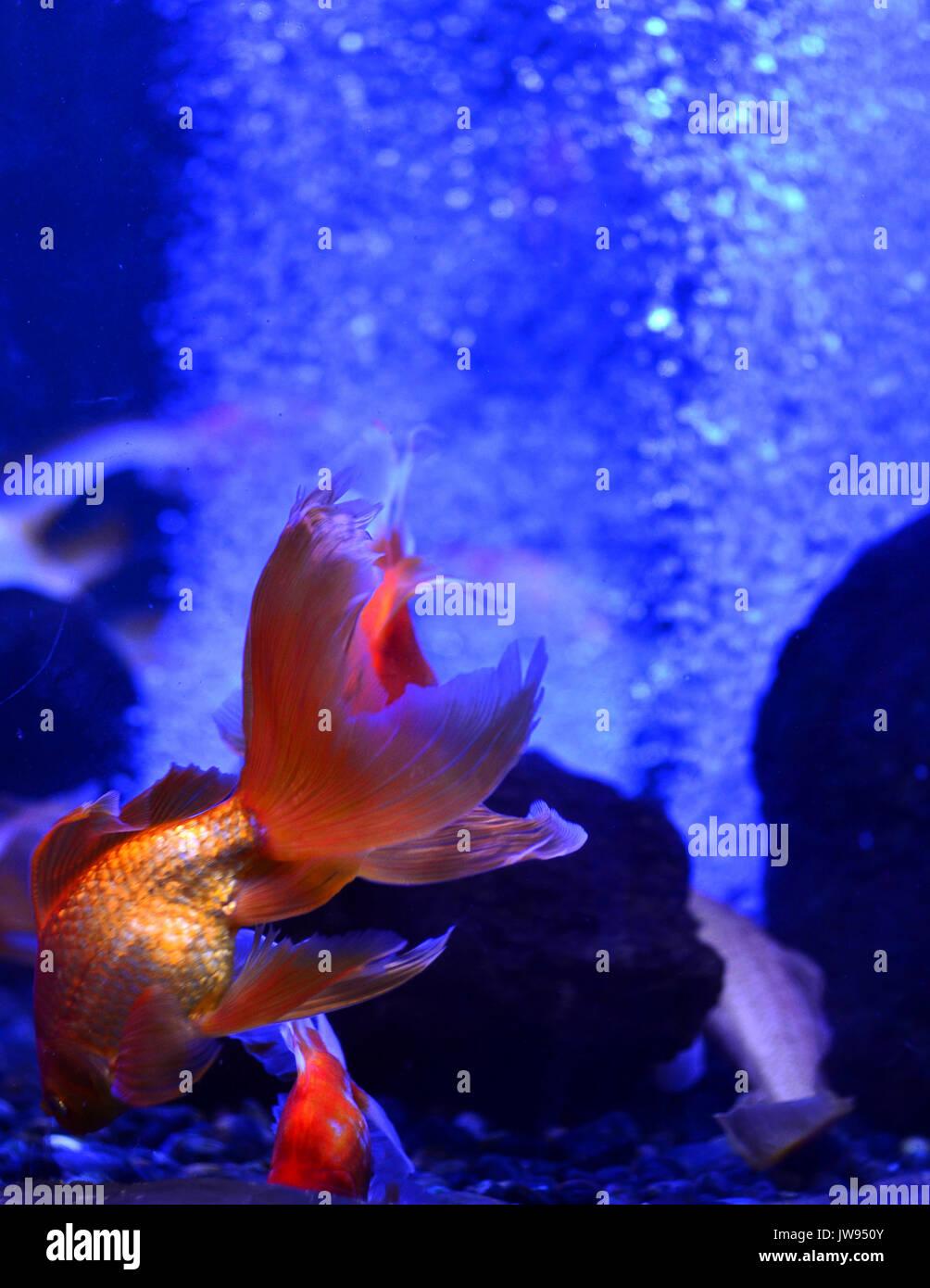 Lacquario Goldfish Galleggianti In Profondità Fino Alle Pietre