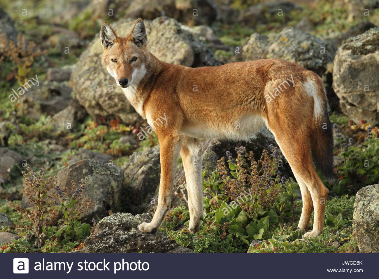 Un avviso lupo etiope,Canis simensis,sorge a Bale Mountains National Park. Immagini Stock
