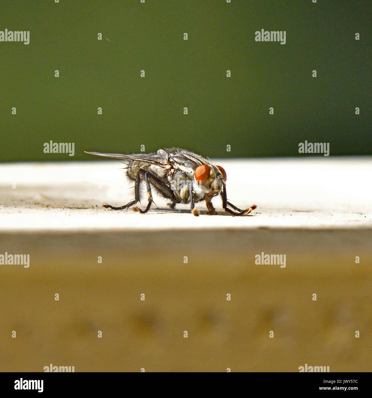 Una mosca di casa Immagini Stock