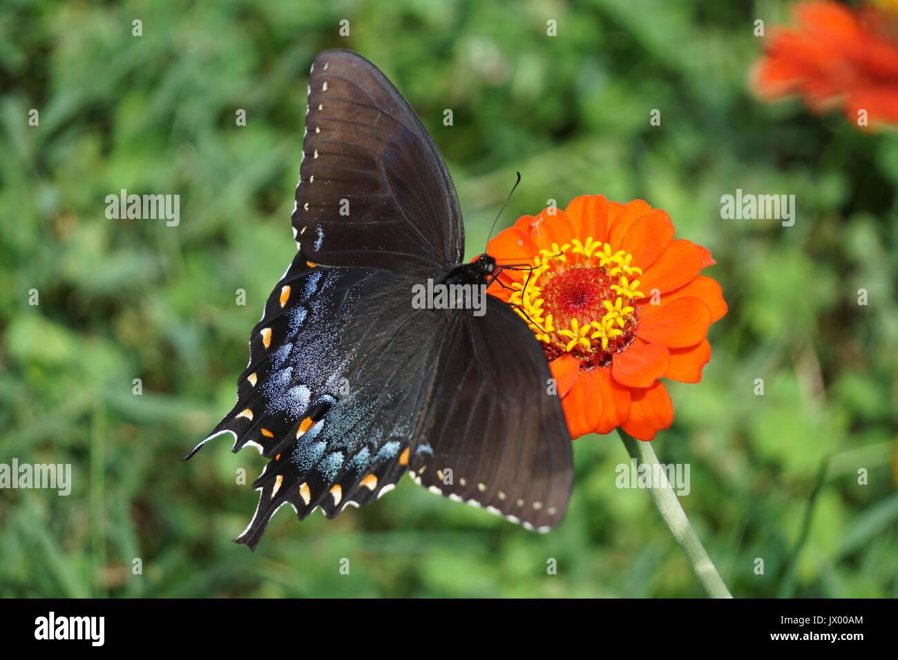 Nero a farfalla a coda di rondine Immagini Stock