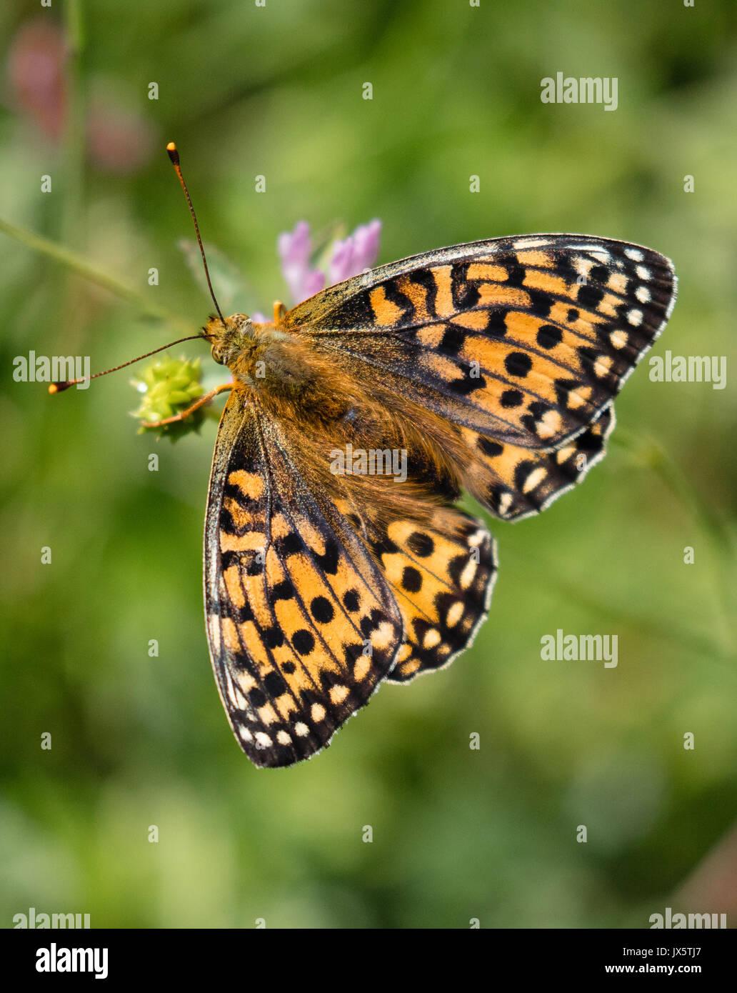 Verde scuro fritillary Argynnis aglaja farfalla femmina di alimentazione UK Immagini Stock