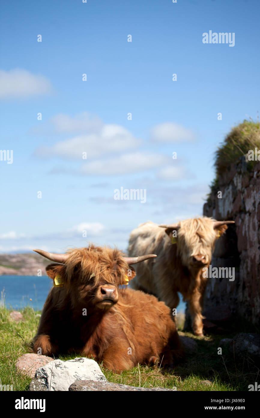 Highland vacche, SCOZIA Immagini Stock