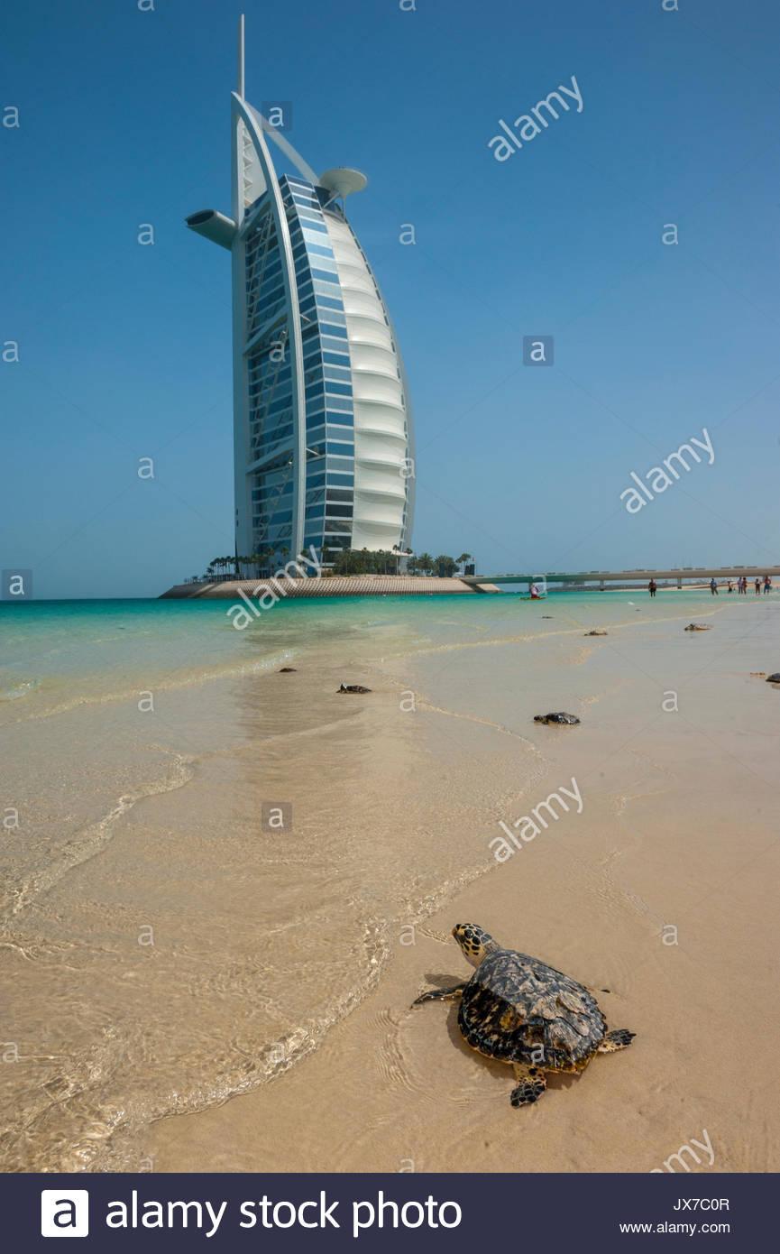 Salvato le tartarughe di mare, a Dubai Tartaruga progetto di riabilitazione in base al Burj Al Arab, vengono liberati nel selvaggio en masse. Immagini Stock