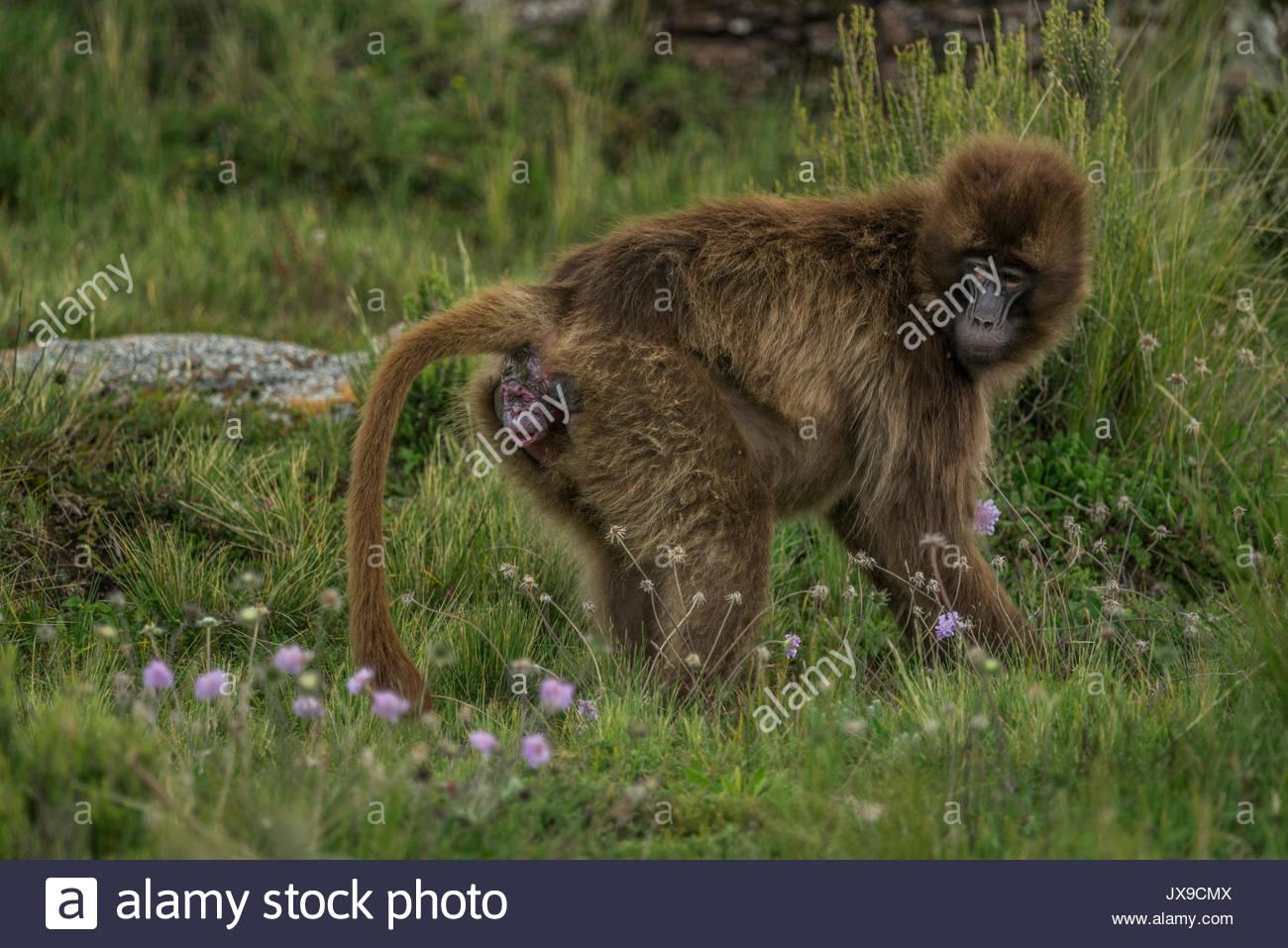 Quando parto, geladas spesso isolarsi per evitare comportamenti aggressivi da altre scimmie e rimanere in silenzio nel tentativo di eludere i predatori. Immagini Stock