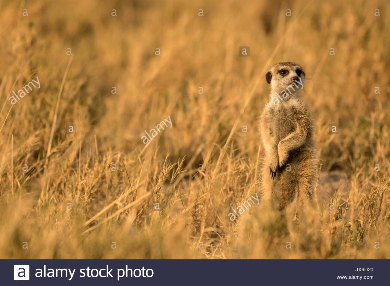 Un meerkat nel deserto Kalaharari's Makgadikgadi Pan. Immagini Stock