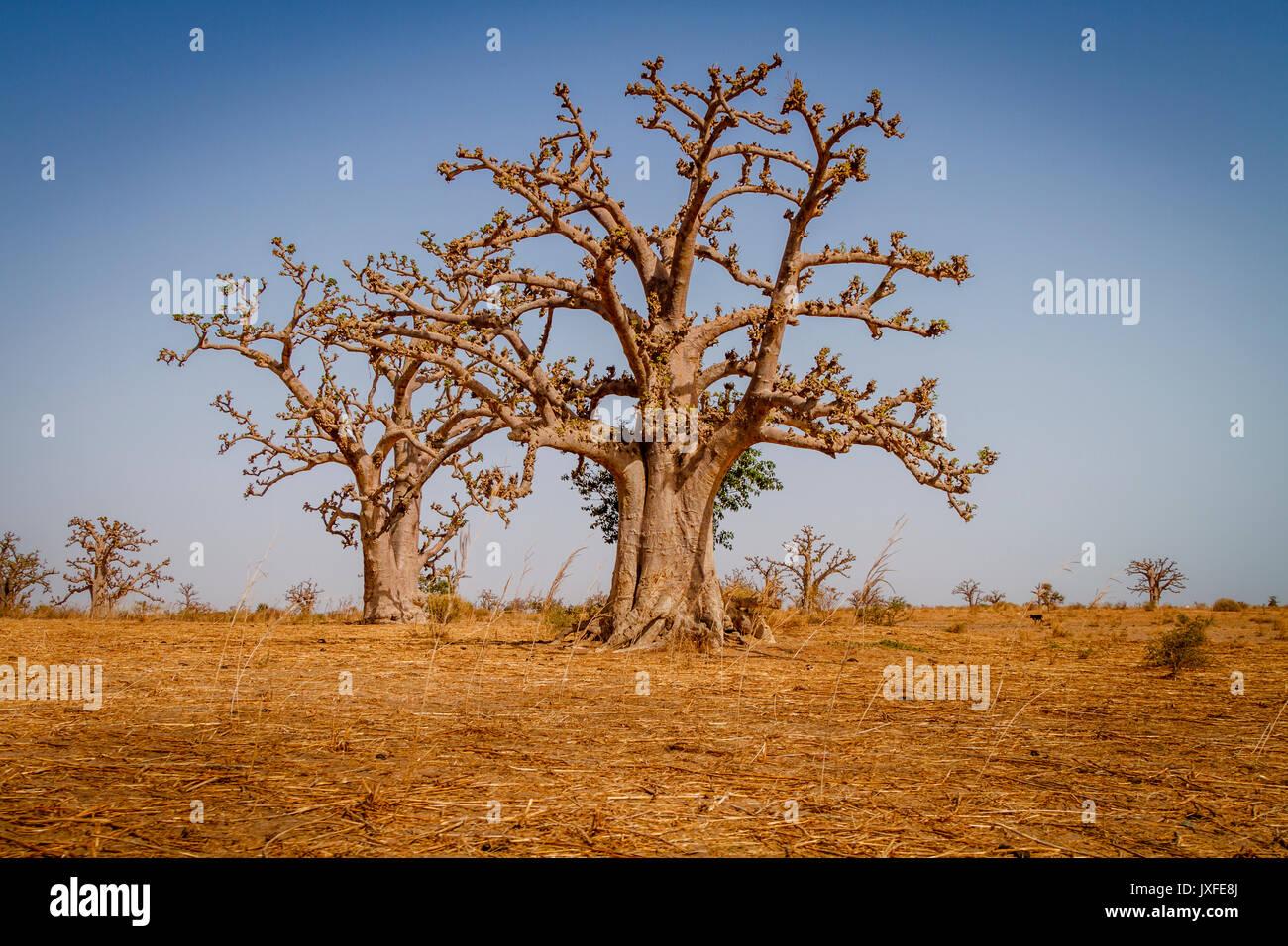 Enormi alberi di baobab in secca savana arida del sud ovest del Senegal. Immagini Stock